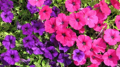 pink purple flowers by shigeo akiyama
