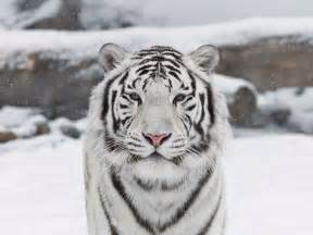 beautiful white tiger with babys pictures gallery
