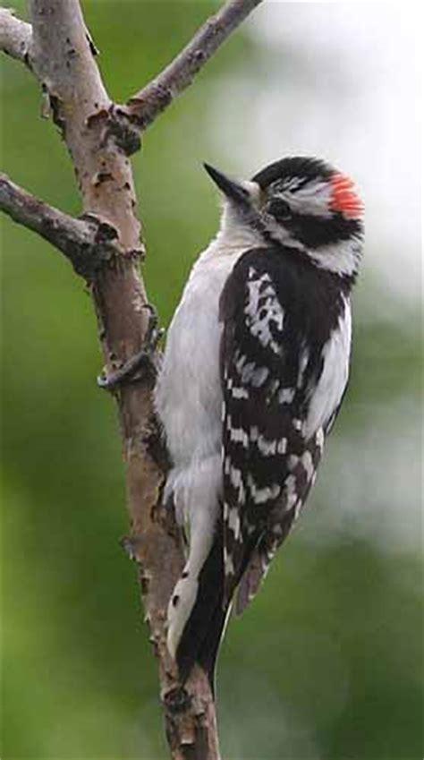 the birds the birds woodpeckers of missouri diary