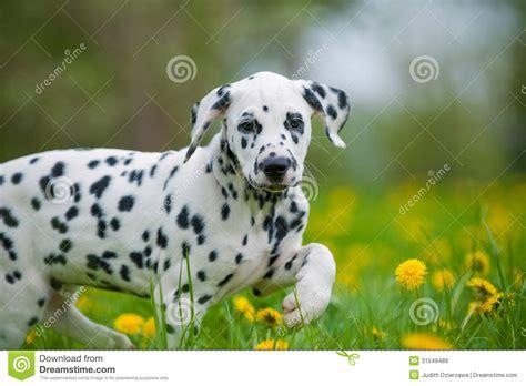free dalmatian puppies dalmatian puppy royalty free stock images image 31549489