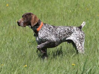 types of bird dogs dogs bird dogs gun dogs breeds picture