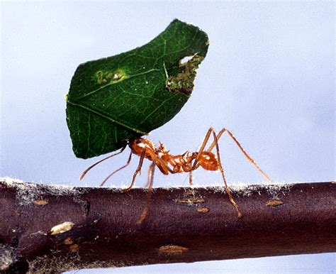 Cutter Ats leaf cutter ant all about the rainforest