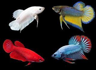Makanan Ikan Cupang Agar Cepat Besar cara membedakan ikan cupan jantan dan betina untuk indukan