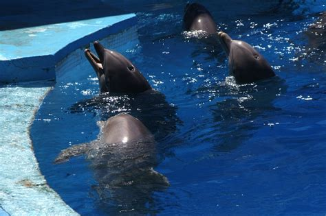 Orcas In Captivity Essay by Keeping Whales And Dolphins In Captivity Essay