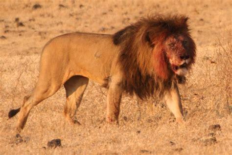 imagenes de leones vs hienas panthera leo wikipedia la enciclopedia libre