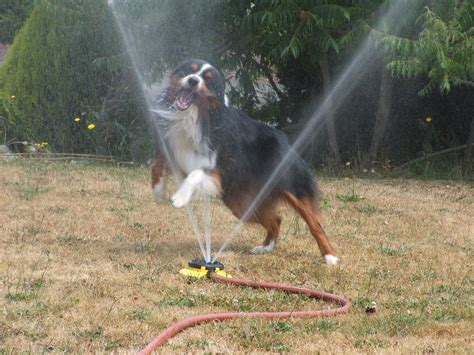 Dog Sprinkler Meme - 32 dogs play in sprinklers 32 pics amazing creatures