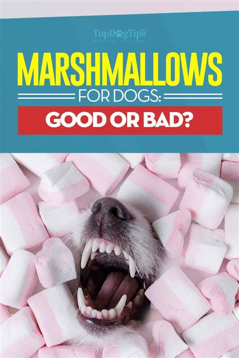 marshmallow dog marshmallows for dogs 101 can dogs eat marshmallows