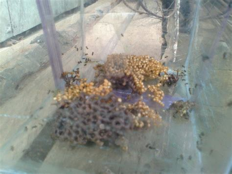 Jual Bibit Sengon Gunungkidul jual madu klanceng lanceng murni beranda
