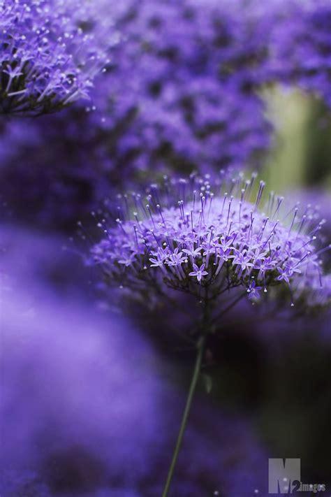 violet purple purple violet flowers flowers pinterest