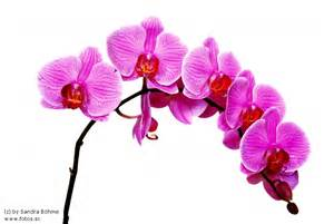 Bl 252 te orchidee pflanze rosa