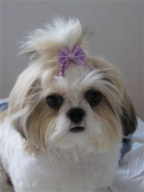 shu shih tzu dogs 1000 images about shitz shu on shih tzu shih tzu and pvc bed