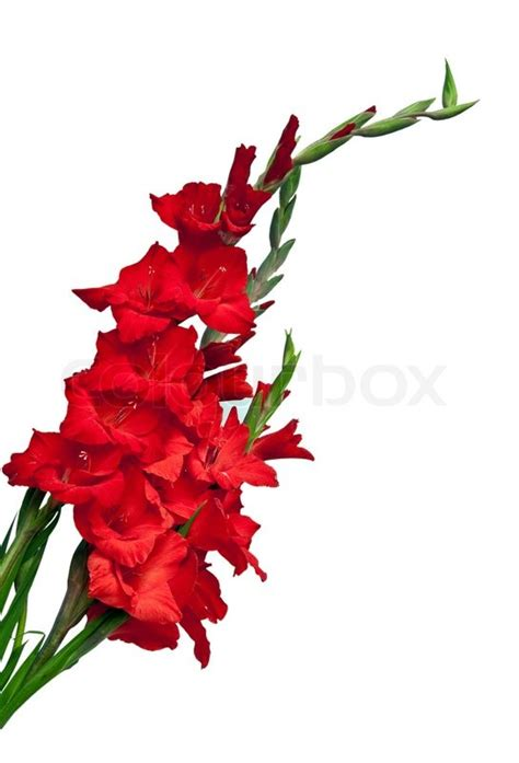 gladiolus flower isolated on white background stock