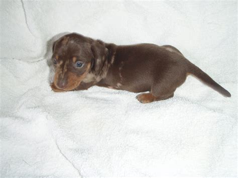 haired dachshund puppies for sale near me weiner puppies for sale near me dogs for sale