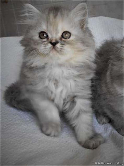 gatti persiani genova favolosi cuccioli persiani a pelo lungo genova