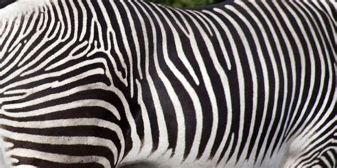 zebra pattern meaning zebra stripes may confuse blood sucking flies the