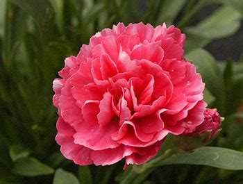 facts about carnations free picture of red carnation flower