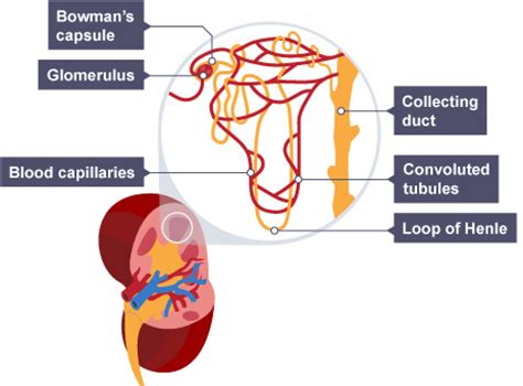 bbc gcse bitesize science the urinary system