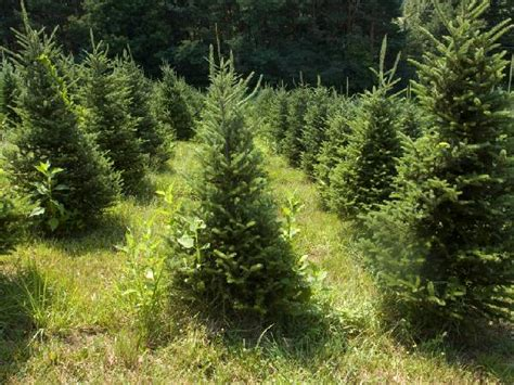 farmshop uk com woods farm christmas trees farmshop