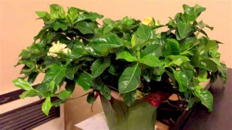 amazing simple trick  grow gardenia indoor successfully