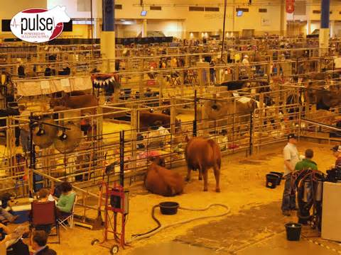 houston show around the barns at the houston livestock show the pulse