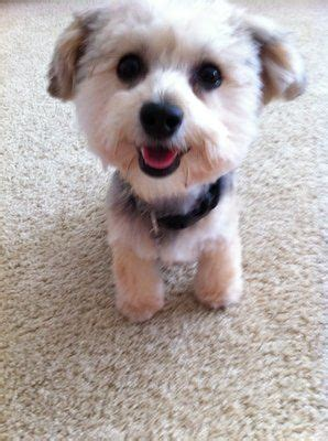 morkie haircuts styles cute morkie haircuts doggie cuts pinterest dog