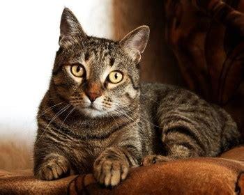 allergia alimentare gatto cosa fare e i principali rimedi per il vomito