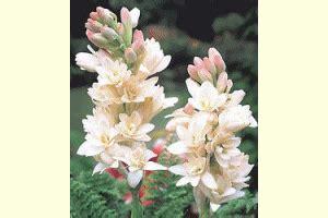 Bibit Bunga Sedap Malam mengenal hama tanaman bunga sedap malam