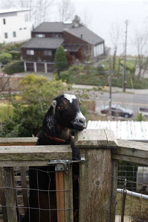 backyard goats 190 best images about my friend the goat on pinterest