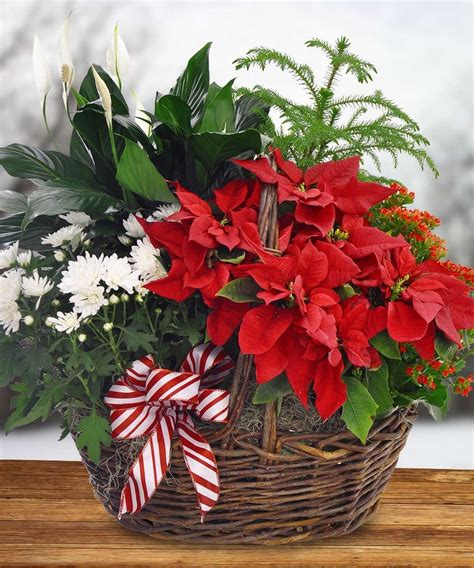 give the classic christmas poinsettia toblers flowers blog