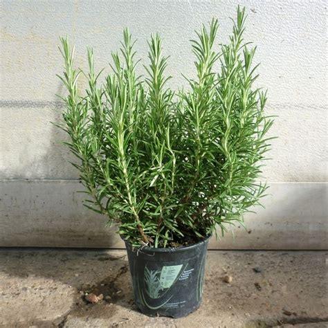 come coltivare il rosmarino in vaso rosmarino coltivazione orto sul balcone coltivare