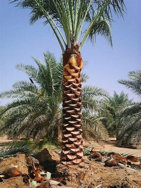 date palm trees  sale   home delivery