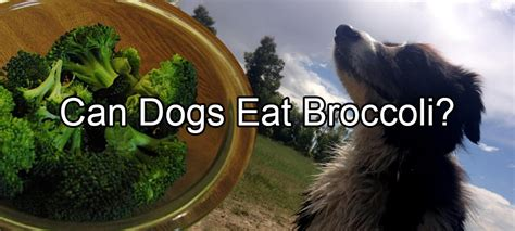can dogs eat broccoli can dogs eat broccoli pethority dogs