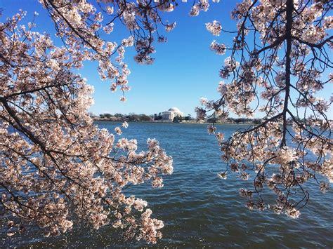 cherry blossom festival dc cherry blossom festival