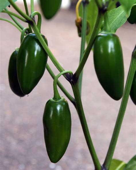 Garden Jalapenos 25 Best Ideas About Pepper Plants On Growing