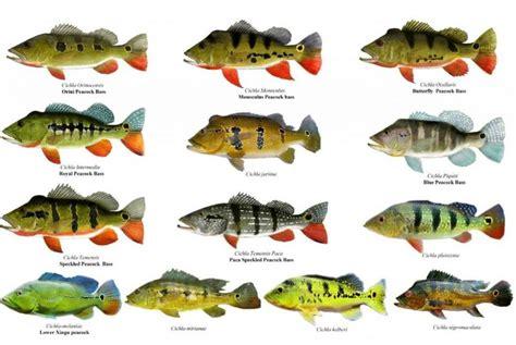 Fishing 15 Ikan 15 jenis spesies peacok bass popular umpan