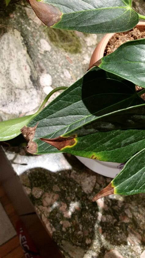 how to save a dying plant watering pink anthurium in apartment leaves turning