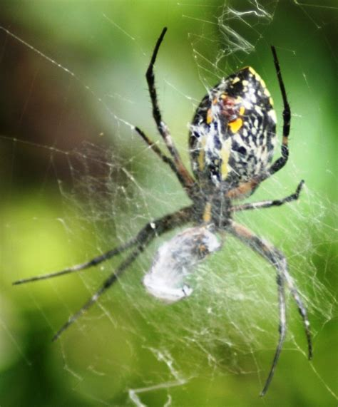 Garden Spider White Spider Identification Guide