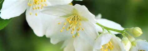 fiori d arancio profumo profumi per ambiente la fragranza legni fiori d arancio