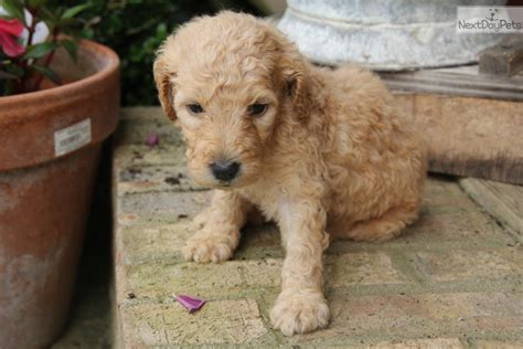 labradoodle puppies for sale near me labradoodle puppy for sale near bowling green kentucky 1b330470 0341