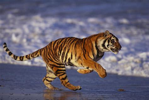 bengal tiger images wallpaper  bengal tiger