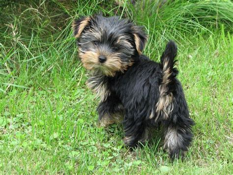 black yorkie terrier terrier black puppy wallpaper terrier pintere