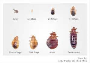 white bed bugs white bed bugs pics clipartsgram