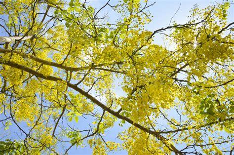 doccia dorata albero di doccia dorata fistola di cassis immagine