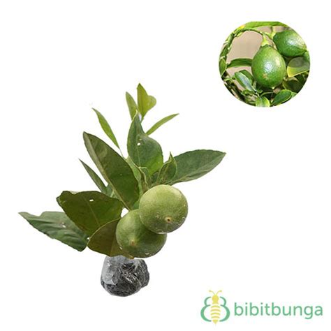 Harga Bibit Jeruk Nipis Lokal tanaman jeruk lemon lokal bibitbunga