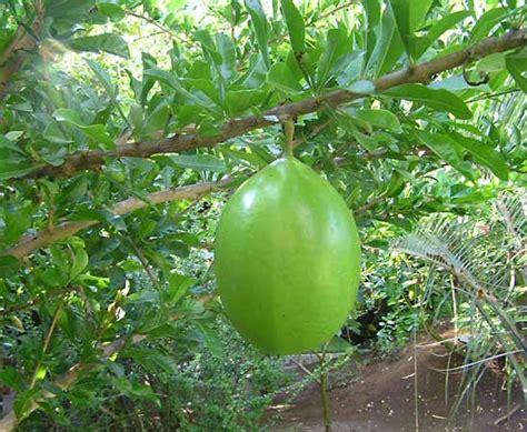 calabash tree   tree   Britannica.com