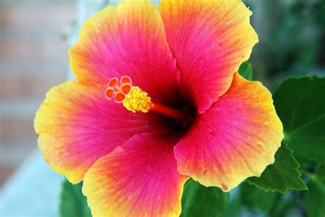ibisco fiori significato ibisco linguaggio dei fiori