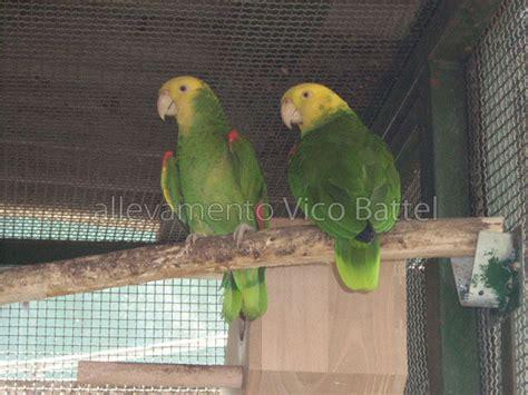 amazzone testa gialla gallery pappagalli allevamento vico battel allevamento