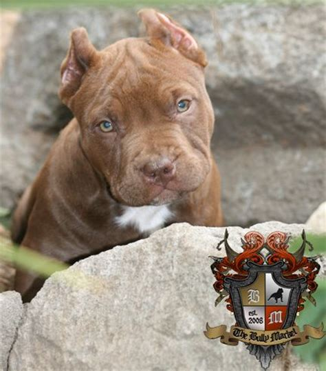 pocket pitbull puppies for sale near me 25 best ideas about american bullies on american pitbull puppies blue