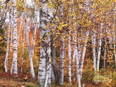 birch trees fall scenery by oleksiy maksymenko
