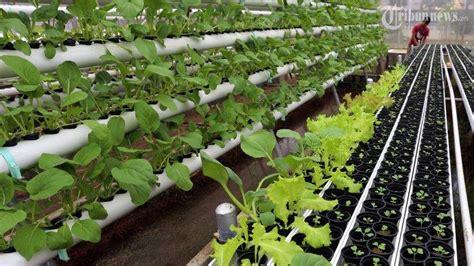 Bibit Pare Yang Bagus bisnis sayur hidroponik jadi pilihan tepat untuk